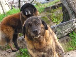 Bonny Estrela Mountain dogs photo and ...