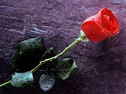rose wallpaper 1600x1200 38235