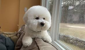 12 Things You Wish You Knew Before Getting a Bichon Frise – The Paws