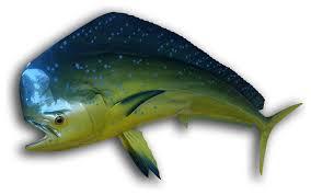 50 mahi half mount fish replica