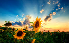 awesome sunflower wallpaper 012