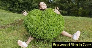Japanese Boxwood Care How To Grow Boxwoods