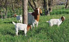 Goat Supplies Premier1supplies