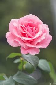 الصور الورد الجميل