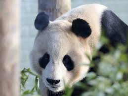 Giant Panda Shocked By Electric Fence In Scotland