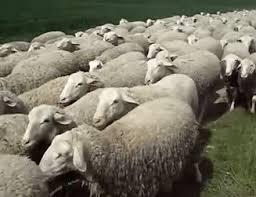 Sheep2 GIF   Gfycat
