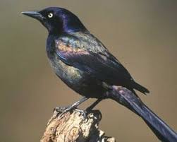 Image result for common grackle