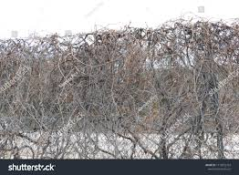 Chain Link Fence Covered Leafless Grape Stock Photo Edit Now 1119052703
