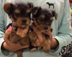 toy yorkie puppies available text me