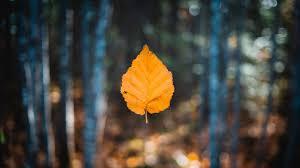 autumn leaf 4k wallpaper