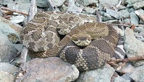 Snake Talk Planned As Researcher Continues Study Into South Okanagan Rattlesnake Roadkills Penticton News Infonews