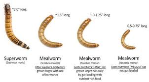 gutloading mealworms feeder insects