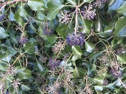 English Ivy Facts Uses And Problems Dengarden Home And Garden