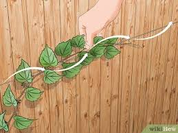 3 Ways To Grow Vines On A Fence Wikihow
