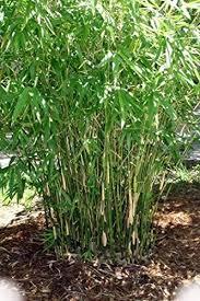 Amazon Com Green Hedge Clumping Bamboo Plant Bambusa Multiplex One Gallon Size Non Invasive Form Garden Outdoor