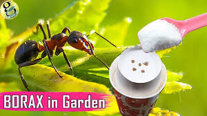 Get Borax For Ant Control  Gif