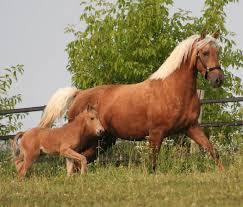 Palomino Morgan Horses | Morgan horse, Horses, Pretty horses
