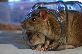 meilleurs jouets pour rats rat domestique
