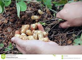 Image result for peanut tree