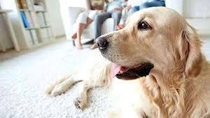 pet odor in carpets removal tips the