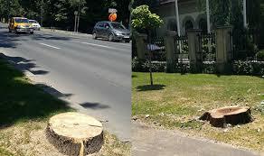 Asa se toaleteaza copacii de pe Kiseleff. | Cronici pe bune
