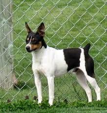 rat terrier breeder and puppies in