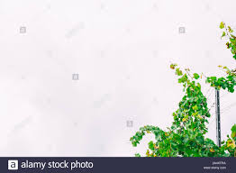 Fence With Vines High Resolution Stock Photography And Images Alamy