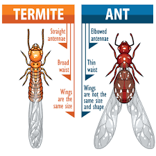 View How Big Are Termites Compared To Ants  Pics