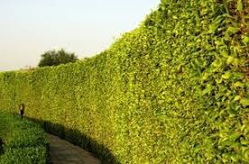 The Best Fast Growing Trees For A Natural Fence Hunker Fast Growing Trees Natural Privacy Fences Natural Fence