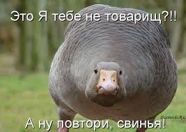 """Картинки по запросу """"гусь свинье не товарищ гиф"""""""