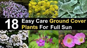 ground cover plants for full sun