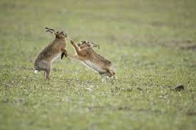 res 849 brown hares boxing 1834107