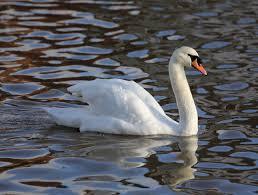 Talk:Mute swan - Wikipedia