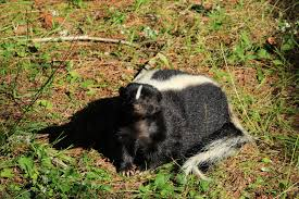 What Can Be Done About Skunks Digging Up Lawn Animal Control Specialists