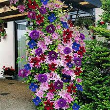 mixed clematis climbing plants seeds