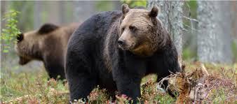 Bear Decals