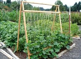 5 Reasons To Grow Cucumbers On A Trellis And Taking Up Less Space Isn T One Of Them An Oregon Cottage