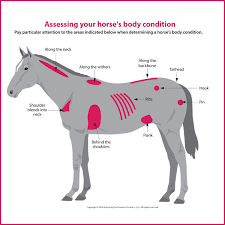 how to evaluate your horse s weight kpp