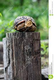 Turtle On A Fence Post Stock Image Image Of Terrapene 94035867