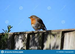 A Garden Robin Standing On A Fence Post Stock Photo Image Of Robin Fence 179896864