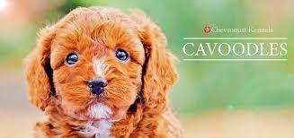 cavoodles chevromist kennels puppies