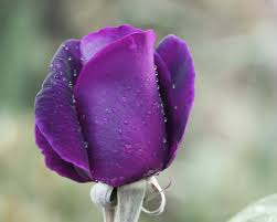 purple rose bud flower pictures purple rose love