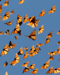Living on Earth: Monarch Migration