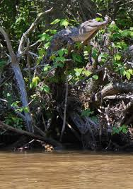 Wait What Crocodiles Can Climb Trees Geekologie