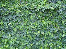 Ficus Pumila Wikipedia The Free Encyclopedia Ficus Pumila Creeping Fig Garden Vines