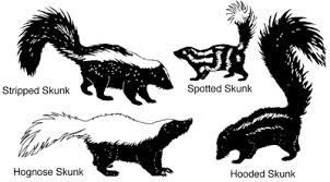 Nmsu Controlling Skunks In New Mexico