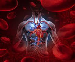Image result for circulatory system diagram