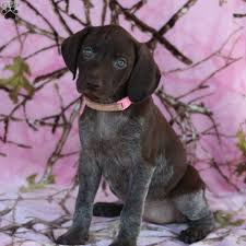 rain german shorthaired pointer puppy