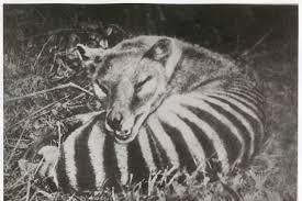 Le Thylacine - Une survivance possible ? Images?q=tbn%3AANd9GcSC4qHdBHd_lHNGkWZtM_l5bvYXd4toP6pz2zMvNTDBSXxTCs2e&usqp=CAU
