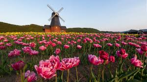زهرة التوليب في اليابان عشق يتجدد كل ربيع Nippon Com